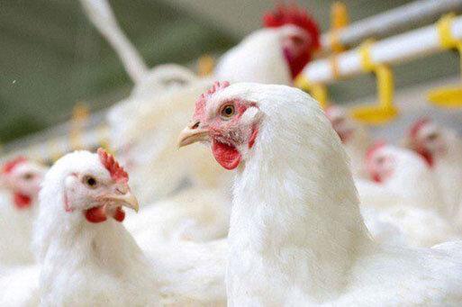 کشف 5 هزار قطعه مرغ زنده یک ونیم میلیاردی در رزن