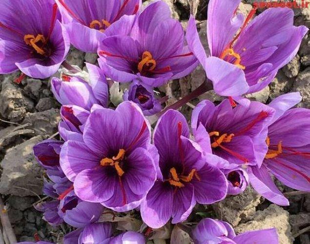 پیش بینی برداشت 70 کیلوگرم زعفران از مزارع زیر کشت آذربایجان غربی