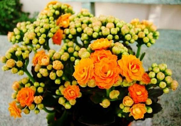 روش نگهداری گیاه کالانکوئه ، کاکتوس گلدار زیبا