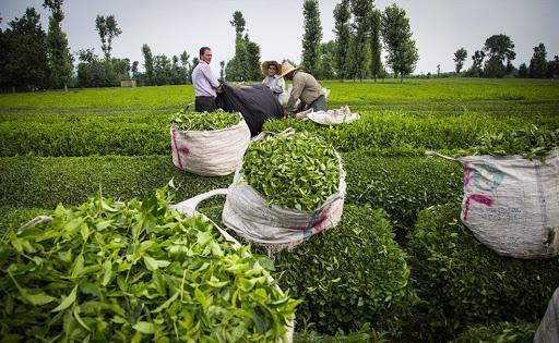 برداشت برگ سبز چای شروع شد، پیش بینی برداشت 135هزار تن برگ سبز